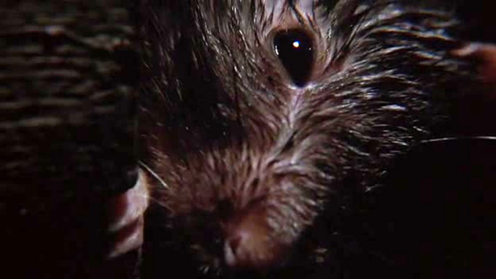 giant rat closeup