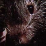 giant rat closeup